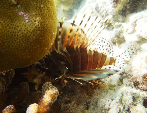 tiny lion fish. taken by Arief Madekan.